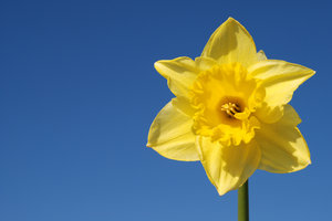 Wild daffodil 3: Wild daffodil. Widely used in Sweden in connection with Easter.