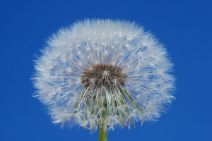 Dandelion Globes 1