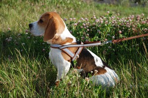Beagle Watch