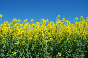 Free stock photos rgbstock free stock images yellow field and yellow field and blue sky agriculture background blue canola cloud clouds crop crops field fields flowers green landscape nature oil rape mightylinksfo