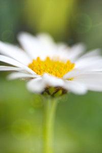Daisy softness