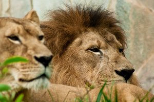 Lions: A couple of lions at zoo