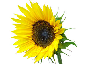 J_SF3: the last sunflower pic from me!