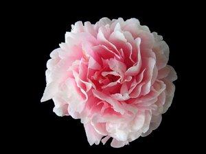 ~ Camellia or peony