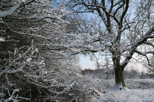 Snowy hedge: A snowy hedge in a park in West Sussex, England.