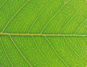 Leaf details: no description