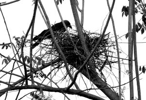 Crow's Nest: Crow feeds its young ones, often shelters and feed a koel unwittingly.
