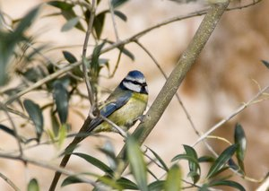 blue tit: blue tit on an olive tree