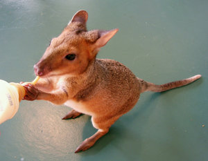 pademelon pet - photo #25