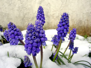 Grape Hyacinth in Snow