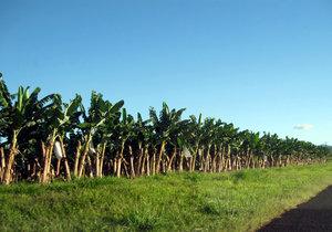 Row of Bananas