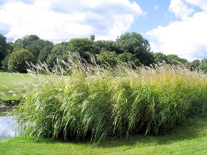 reed bush in a park