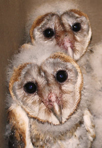 Barn Owl brood