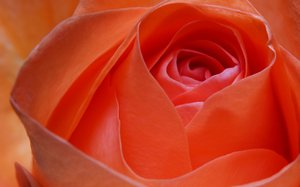 Rose: No description
