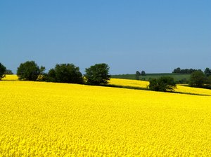 Rape field: The stunning yellow of rape