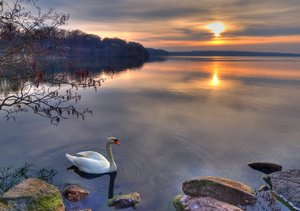 Swan in Sunset - HDR