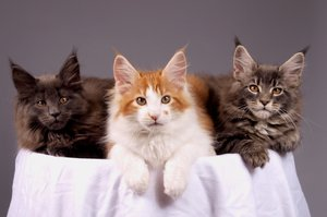 Maine coons kittens