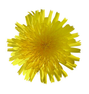 Dandelion: A small yellow flower. Please let me know if you decide to use it!