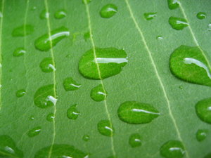leaf droplets 1