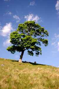 Lone Tree: Single tree standing on a hill