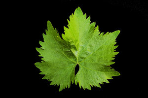 Grape Vine Leaf