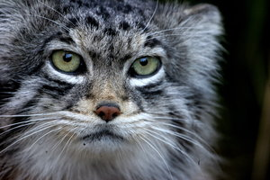 Pallas Cat 2: Close-up of Pallas Cat in Edinburgh Zoo
