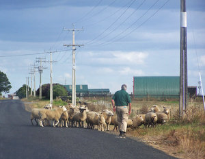 Farmer moving sheep: The sheep went the wrong way...as they typically do...they should be going into the paddock on the other side of the road.  Karaka, New Zealand
