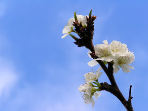 plum tree blossom in spring