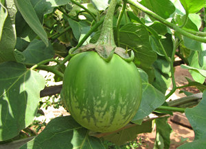 Green Brinjal/ Eggplant: There are about four thousand varieties of Eggplant/ Brinjal in India!