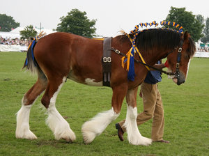 Shire horse: A shire horse at a display in West Sussex, England.