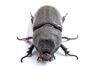 Rhinoceros Beetle