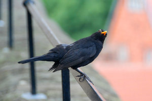 Common Blackbird: The Common Blackbird, Turdus merula, is a species of true thrush. It is also called Eurasian Blackbird or simply Blackbird (in areas where it is the only blackbird-like species). It breeds in Europe, Asia, and North Africa, and has been introduced to Australia and New Zealand.