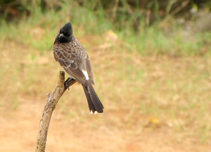 Red-vented Bulbul: no description