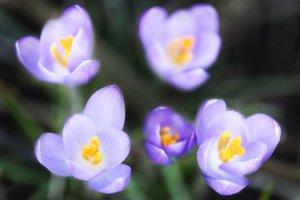 Spring abodes crocus