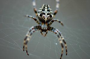 Wood Spider 2