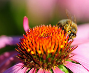 Honey Bee & FLower 3