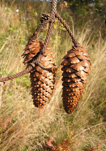 Pine cone: A cone of a pine.