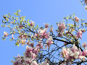 magnolia branches: branches of a magnolia tree