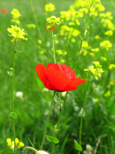 one poppy