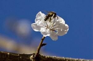 bee: bee on an apricot flower