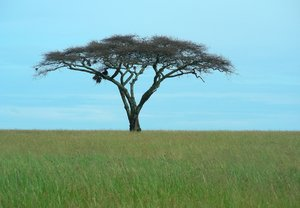 one tree: photo taken in tanzania