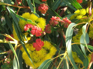 gum tree colours and shapes: Australian eucalypts - gum trees - flowers and seed pods