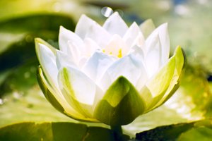 White water lily: waterlily in sunshine