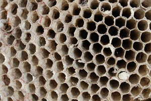Wasp nest: An evacuated wasp nest.I've placed no restrictions on most of my photos, but I would really appreciate imput & comments! If it is possible to credit me, Christine Landis, please do.