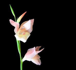 Gladiolus 2: A beautiful pink gladiolus on a black background.