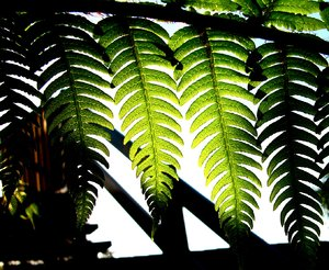Rainforest Light: Light falling on a tree fern. We live in a former rainforest area, and the light here can be magical. This is the New Zealand national emblem.