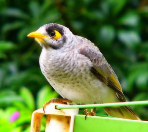 Noisy Miner: A native Australian bird - sometimes confused with the introduced Indian Mynah - with a great personality. This one was squawking at my cat from the clothesline.