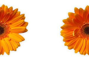 Gerbera Half and Half