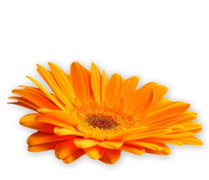 Gerbera Daisy Orange 1