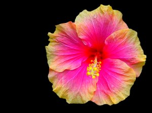 Hibiscus Bi-colour on Black